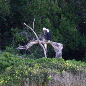 fish & fish eagle